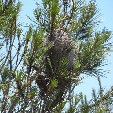 Espoir végétal  - Lassy -  Enlèvement de nids de chenilles processionnaires