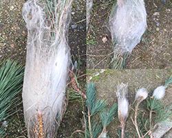 Suppression de nids de chenilles processionnaires